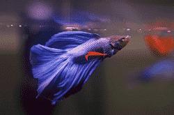 breeding betta fish
