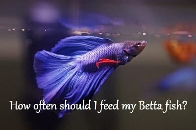 How often should I feed my Betta fish