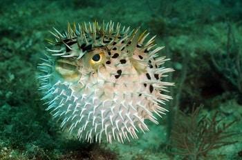 bloat porcupine puffer fish