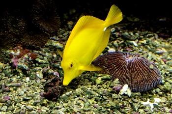 yellow tang finding nemo
